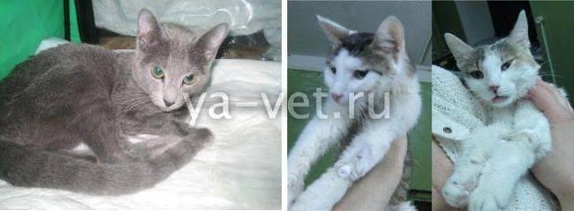 Гемобартонеллез у кошек: симптомы и лечение   болезнь, фото