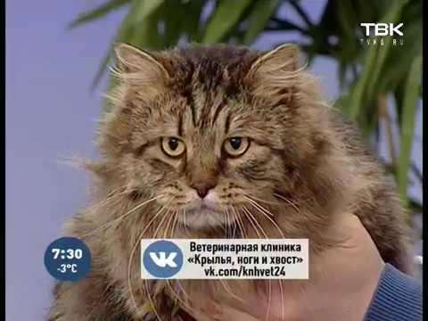 Почему кастрированный кот может лезть на кошку: основные причины