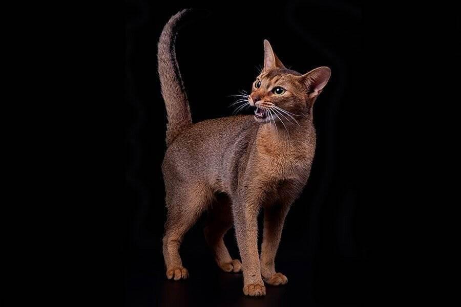 Самая дорогая порода кошек в мире: описание, цены, фото, видео