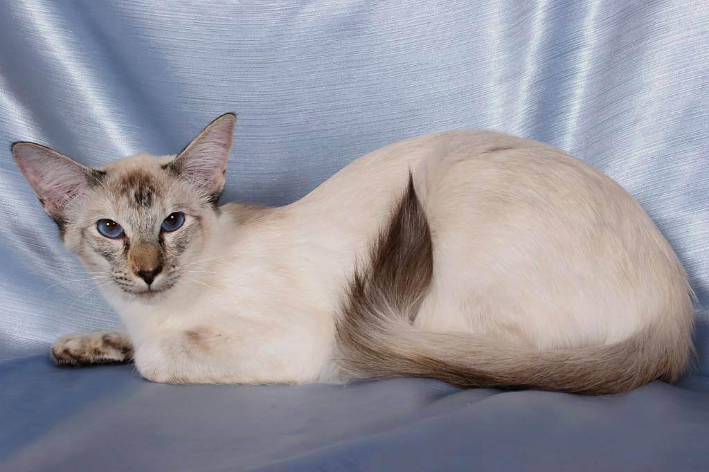 Балинезийская кошка: описание породы, характер и разведение, особенности поведения, окрас, фото