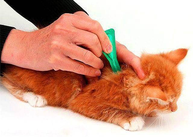 Когда можно начинать делать обработку котенка противоблошиными средствами
