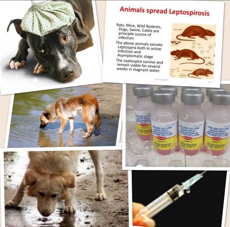 Лептоспироз у кошек симптомы лечение