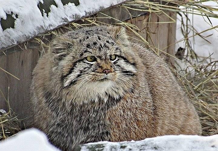 Манул - красивая дикая кошка