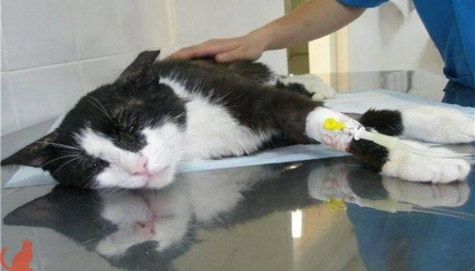 Кот писает кровью – возможные причины и что делать в домашних условиях