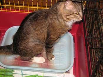 Опасность мочекаменной болезни у котов