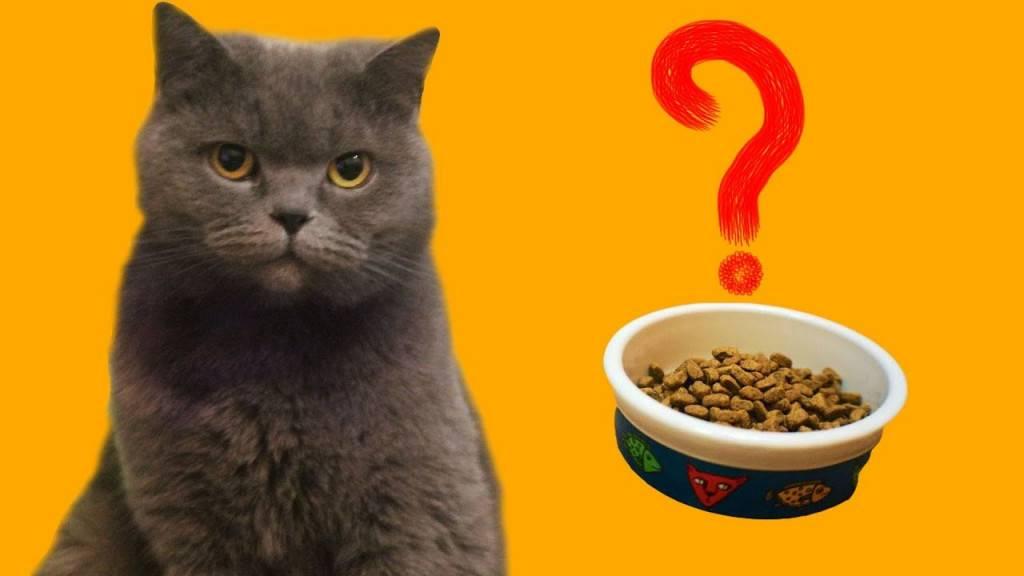 Почему котенок не ест сухой корм: основные причины, что делать и чем кормить