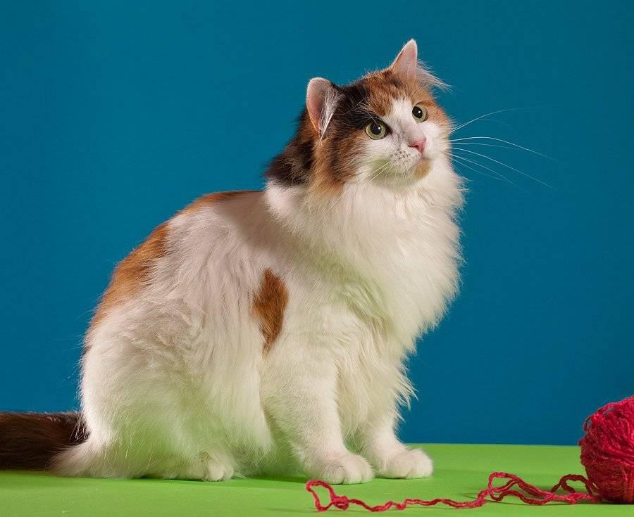Турецкий ван (ванская кошка): топ-150 фото + полное описание породы
