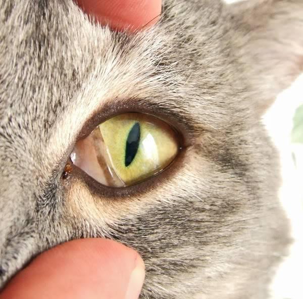Если кошка слепая. как понять, что кошка ослепла что видят слепые коты