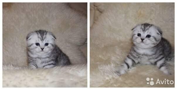Как выглядят новорожденные вислоухие котята