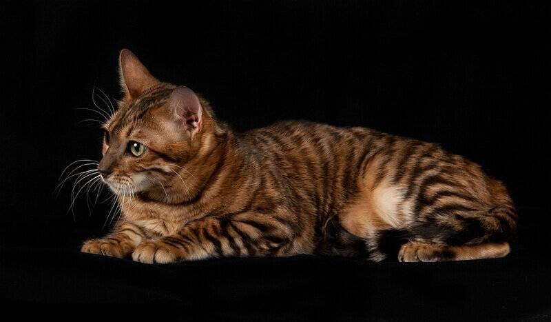 Самые дорогие породы кошек: топ-10