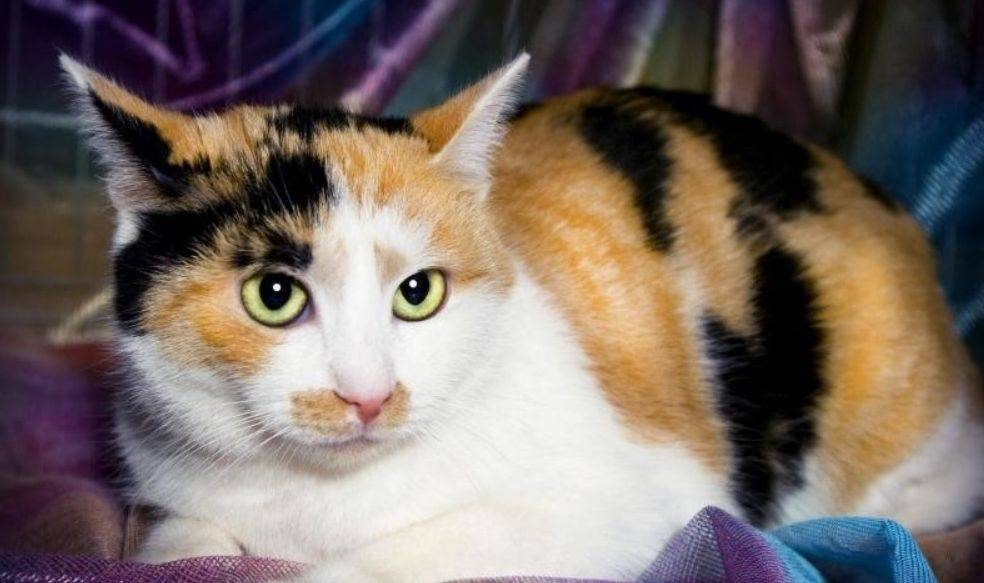Бывают ли трёхцветные коты или только кошки?