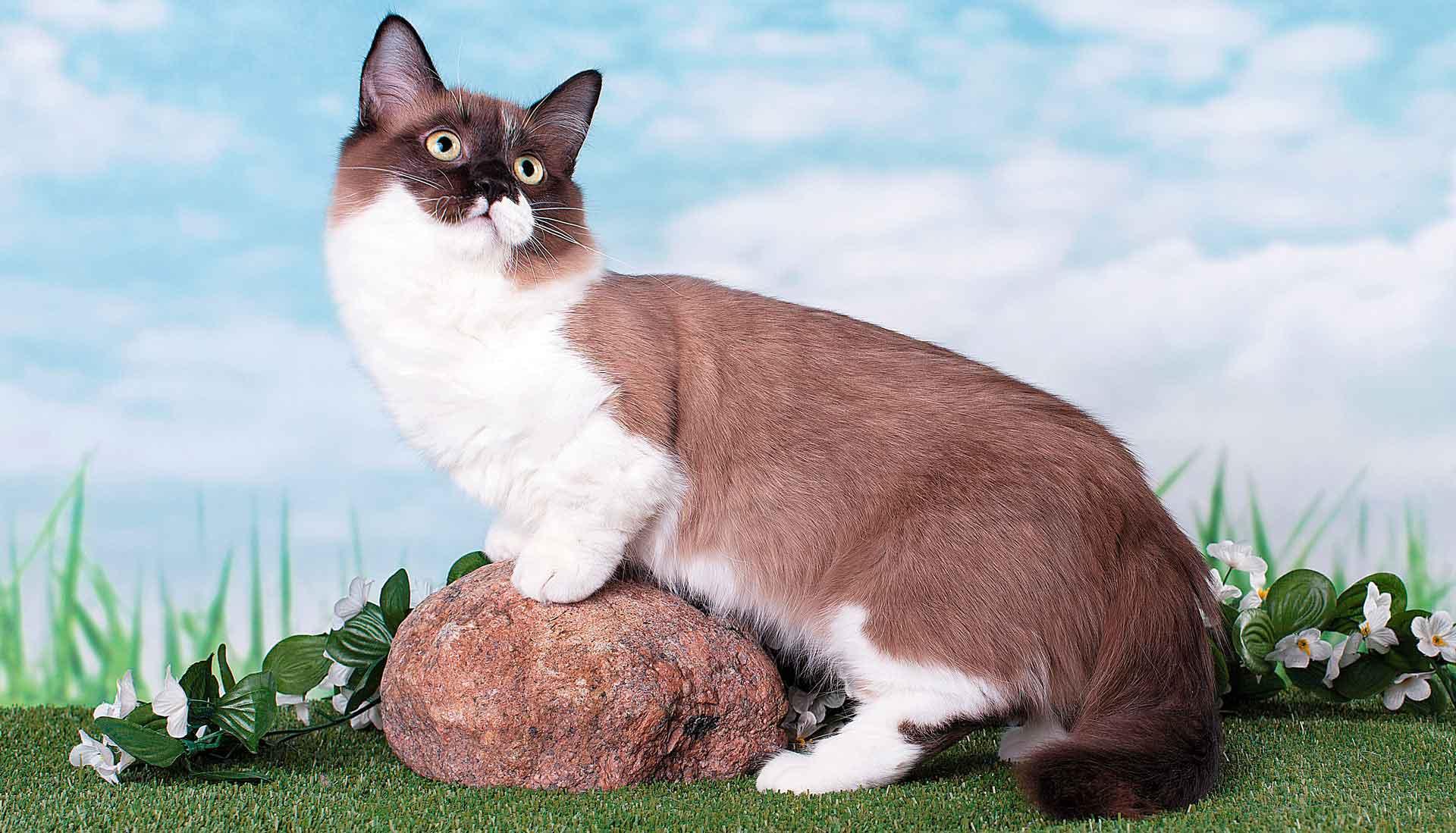 Кошки на коротких лапах — манчкины