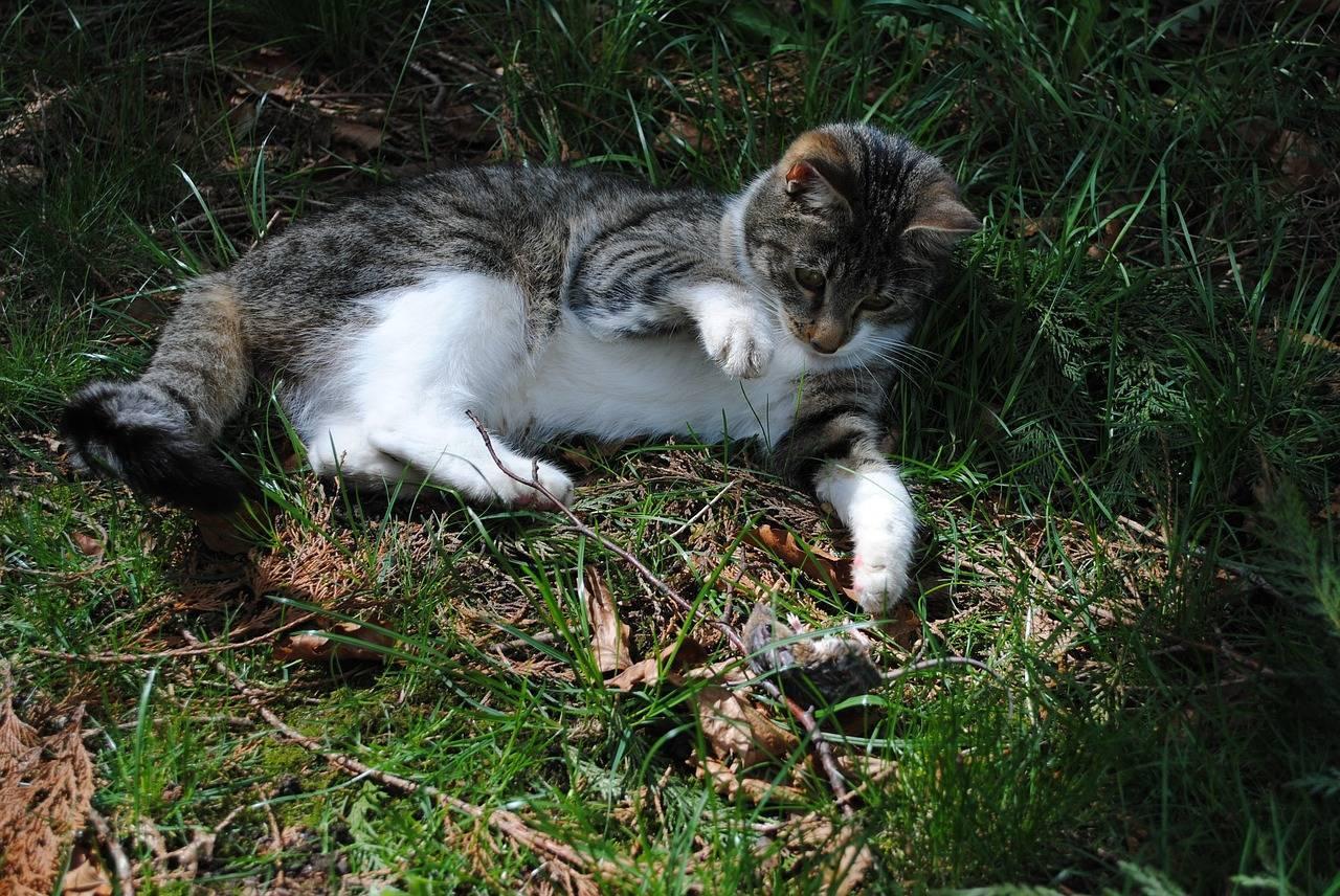 Какая порода кошек лучше всего ловит мышей