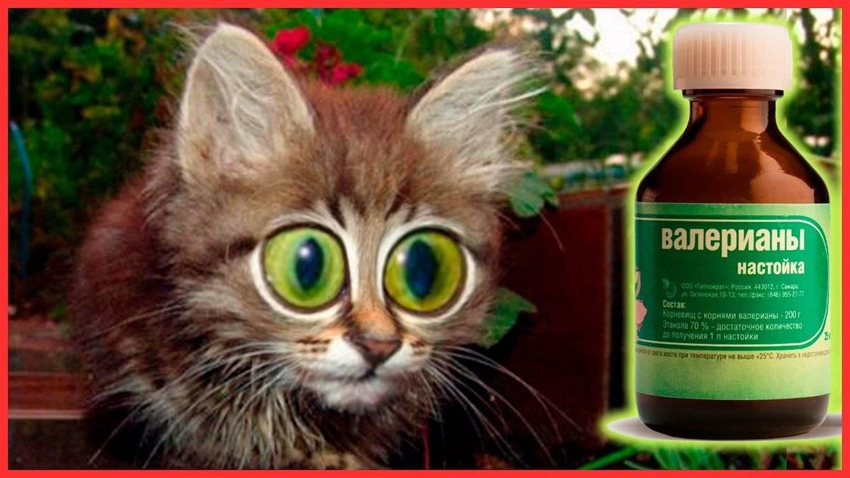 Влияние валерьянки на кошек и котов — разбираемся в вопросе