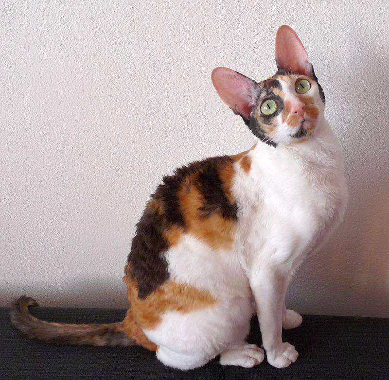 Самые популярные породы кошек в мире, названия и фотографии