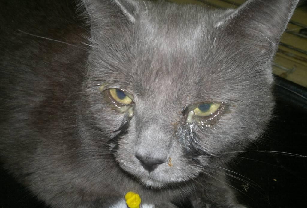 Почему у котят слезятся глаза и что делать