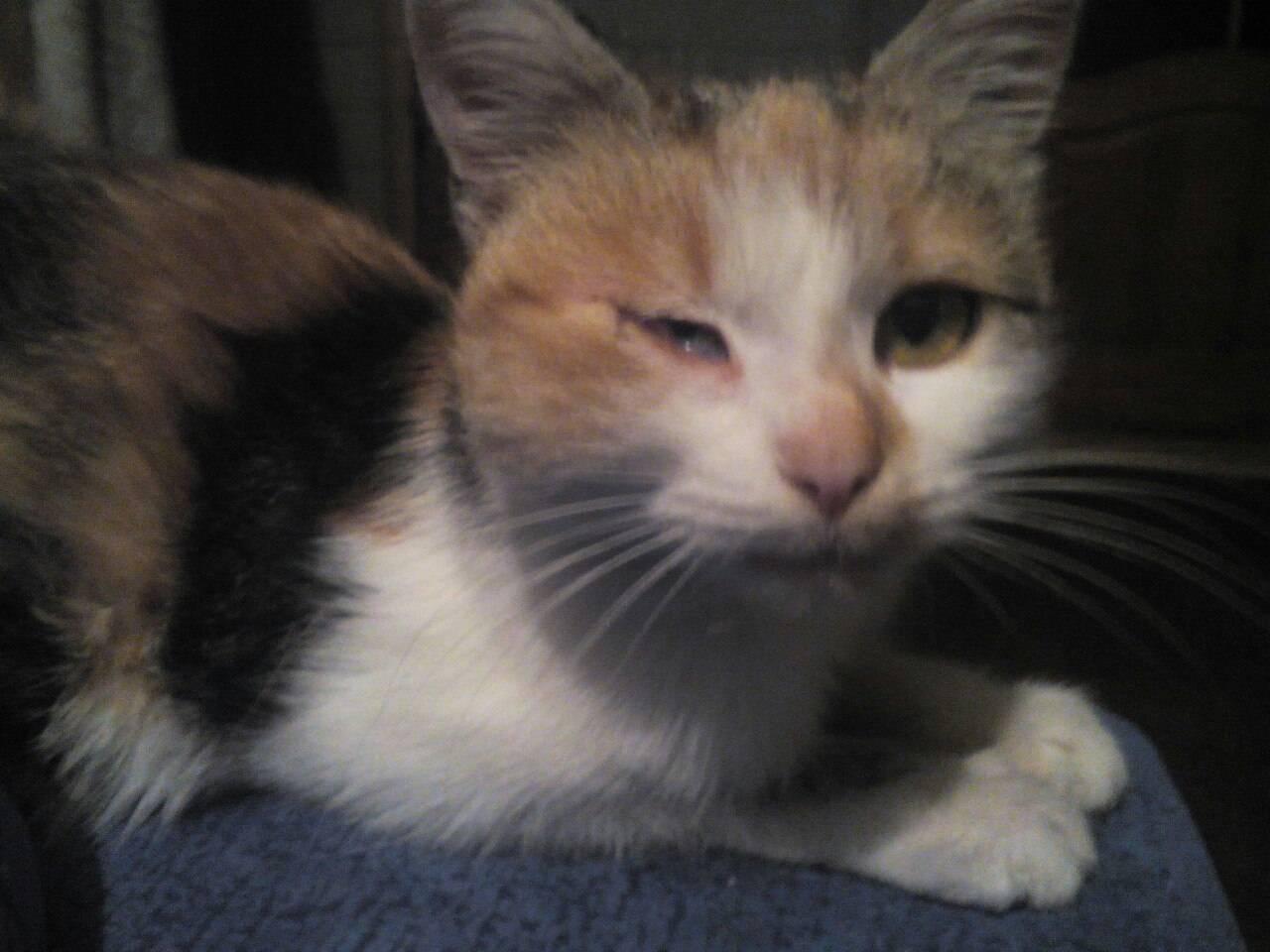 Что делать, если у кошки опухла щека?