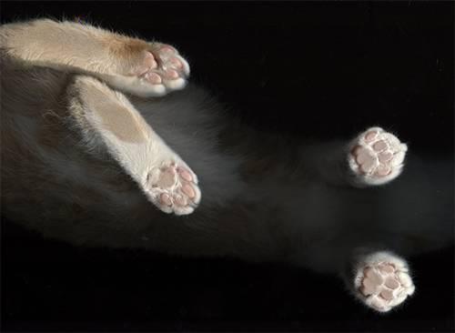 Сколько пальцев у кошки: норма и полидактилия