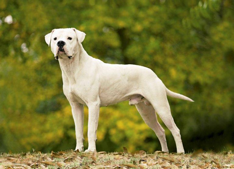 Немецкий дог: все о собаке, фото, описание породы, характер, цена