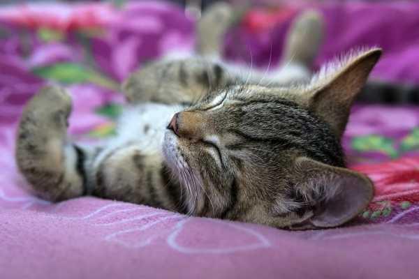 Почему кот или кошка сопит носом при дыхании. почему кошка храпит во сне и что это значит кот сопит во сне причины