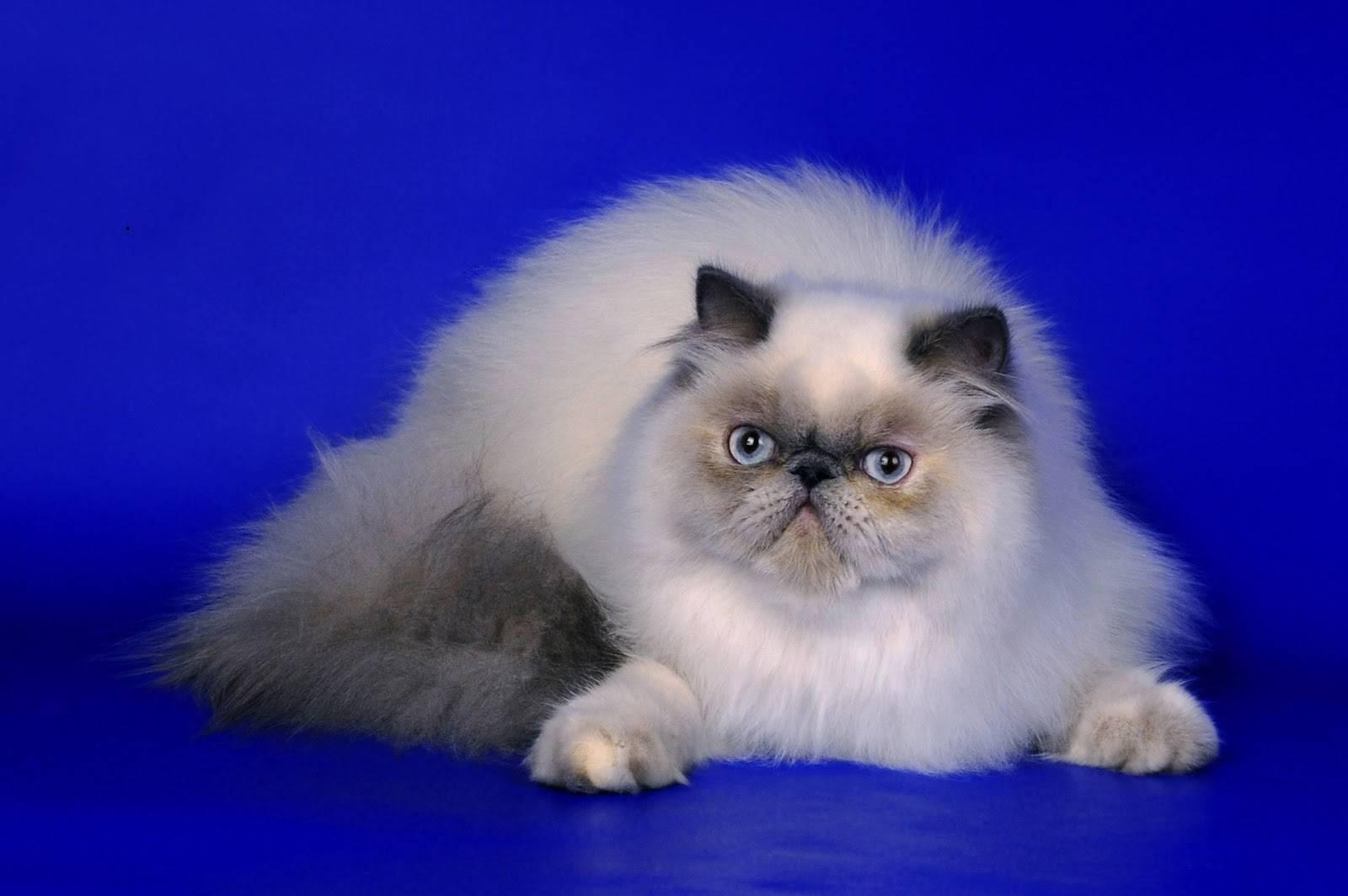 Персидская кошка: описание породы, отзывы, цена, фото и видео
