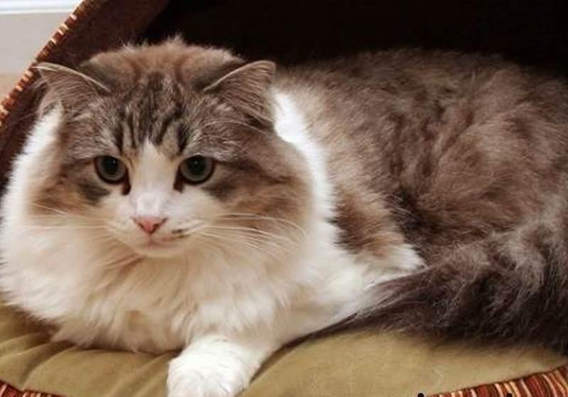 Рагамаффин - описание породы и характера кошки