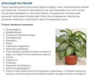 Драцена ядовита для кошек или нет, какие комнатные растения опасны для них: фото и названия