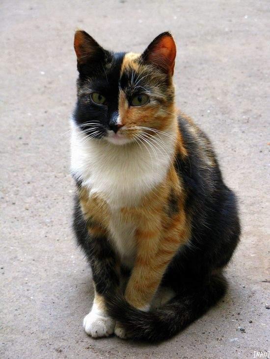 Самые интересные факты о трехцветных кошках