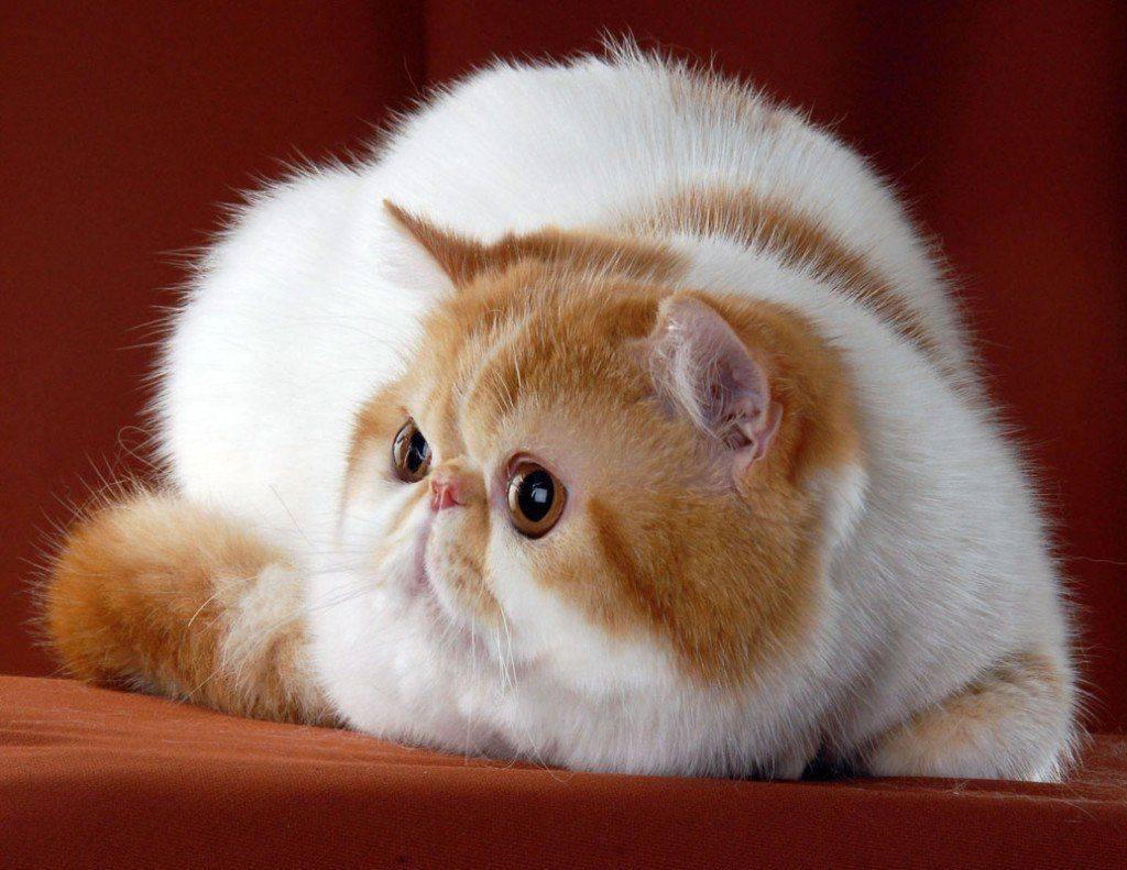 Экзотическая кошка: описание, характер экзота, 30 фото, цена котенка