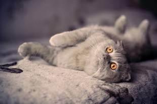 Имена для породистых котят — британцев, шотландцев и других