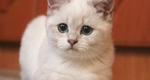 Подготовка кошки к выставке – полезно и интересно знать