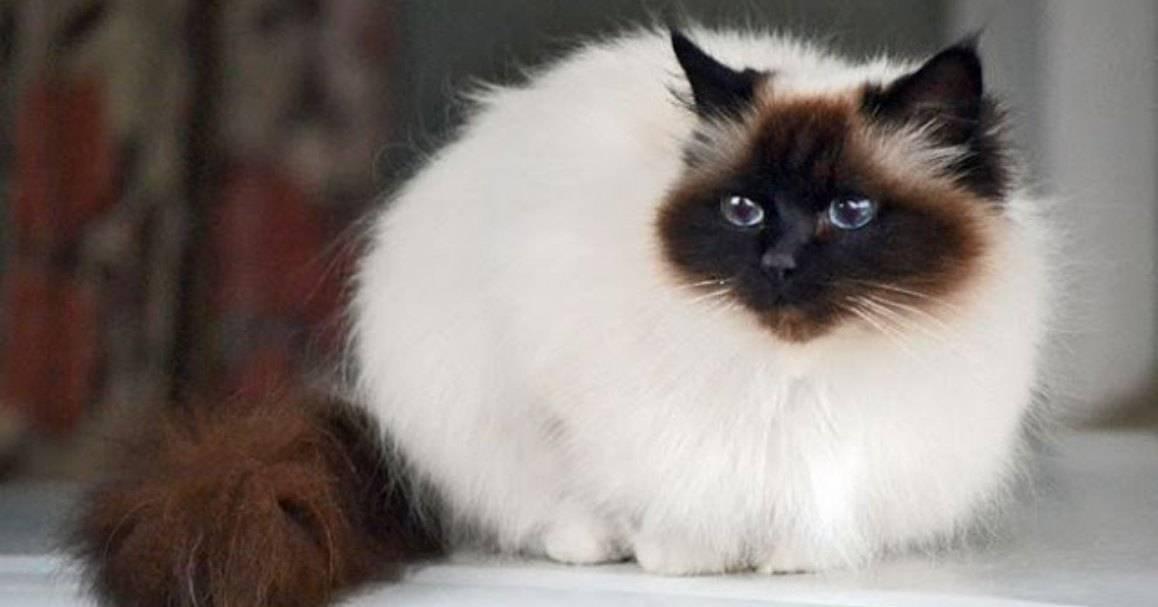Бирманская кошка: фото, характер, описание породы священной кошки и уникальные факты