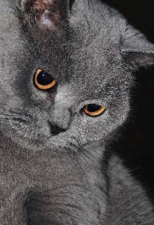 Сколько живут британские коты