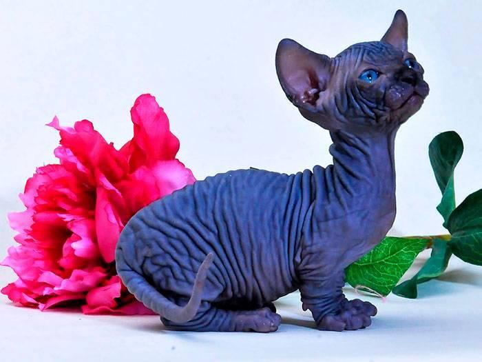 Порода кошек бамбино: как выглядит, чем кормить и как ухаживать