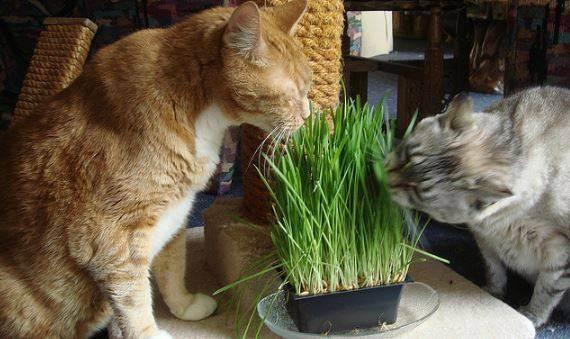 Как вырастить овес для кошки без земли – проращивание овса для животных