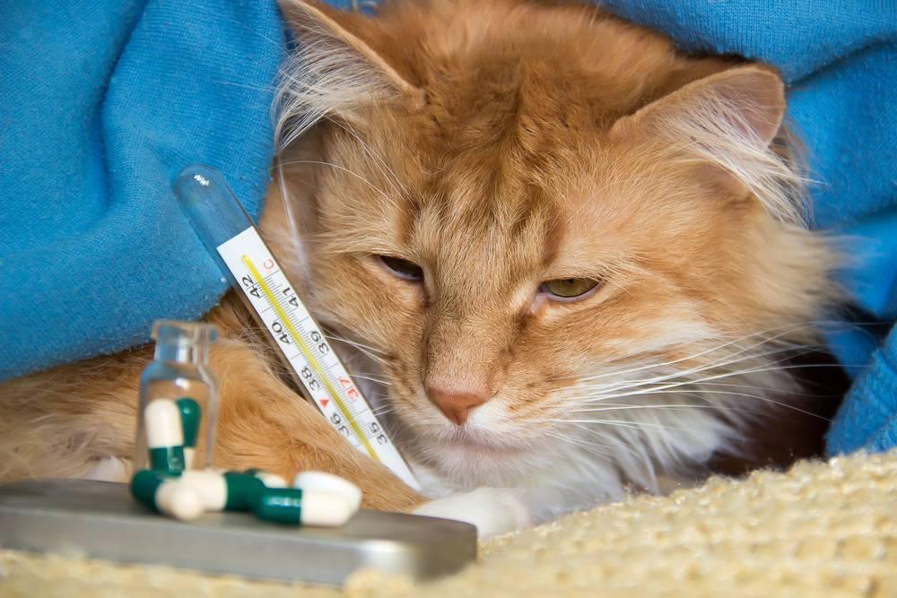 Лейкоз у кошек: симптомы и лечение, вакцина от вирусной кошачьей лейкемии