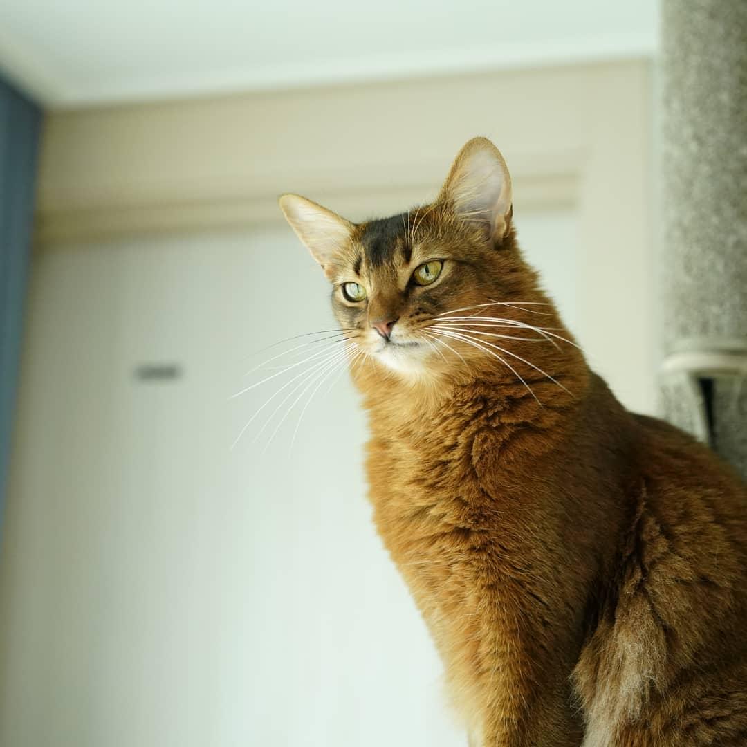 Сомалийская кошка: фото, цена котенка сомали, описание породы и характера
