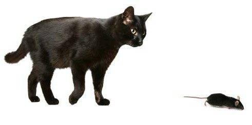 Отравление крысиным ядом у кошек: симптомы, признаки и лечение