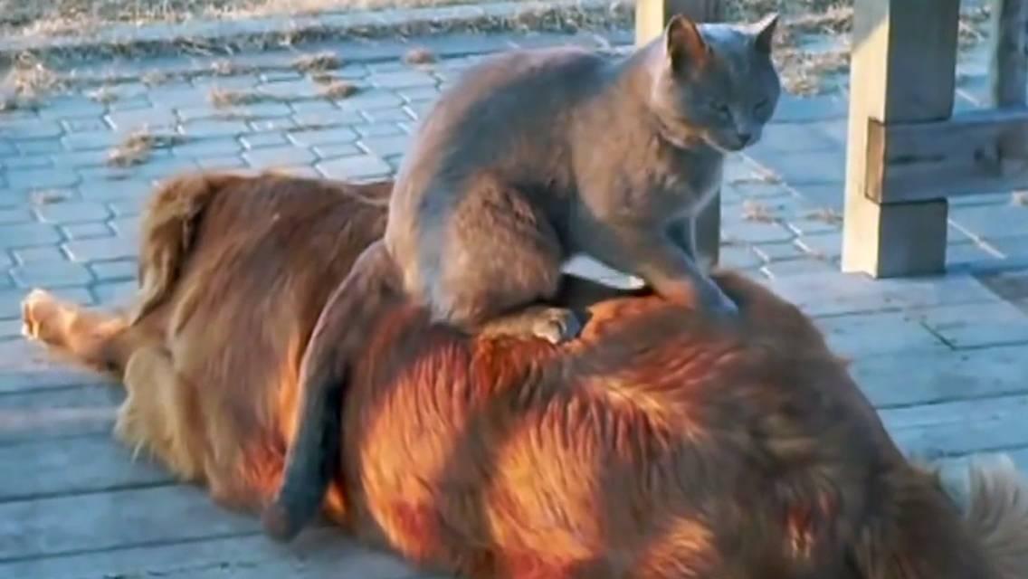 Почему кошки делают массаж?
