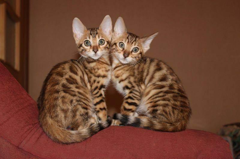 Самые длинношерстные породы кошек – список, описание, фото и видео  - «как и почему»