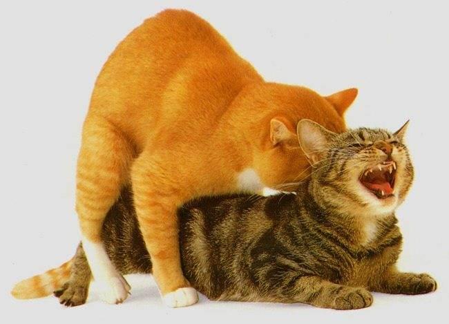 В каком возрасте кошка просит кота: что делать в домашних условиях и сколько дней гуляет