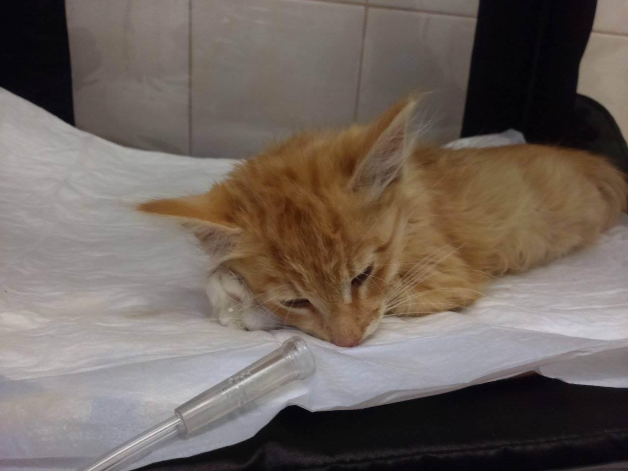 Панлейкопения (чумка) у кошек: симптомы, диагностика, лечение