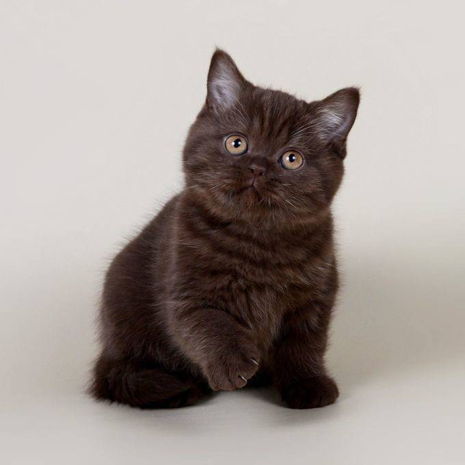Шоколадные британские кошки: стандарт редкого окраса, генетика и советы по выбору английских кошек