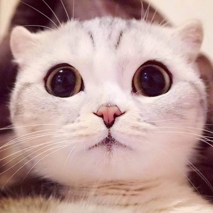 Коты с приплюснутой мордой и большими глазами: как называется порода