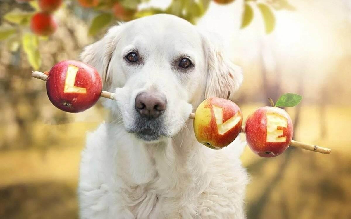 Можно ли собакам есть яблоки? 12 фото в каком виде давать яблоки щенкам? можно ли им есть свежие яблоки и яблочные косточки?