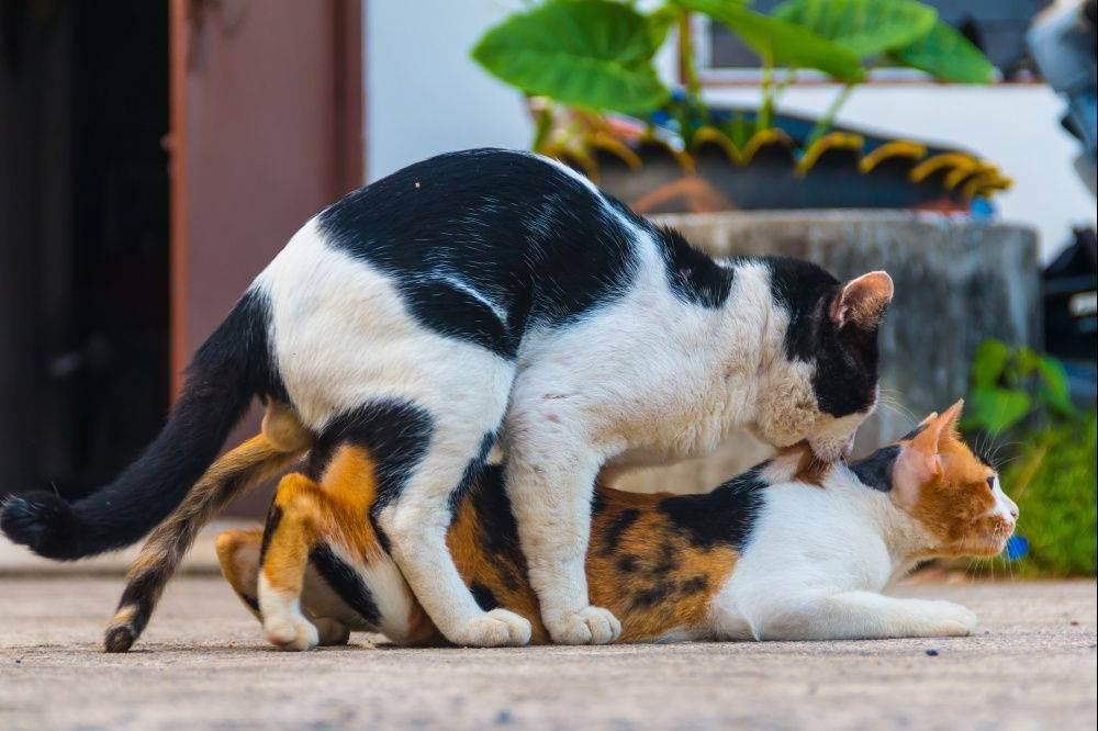 Как ведет себя кошка после вязки: норма и возможные проблемы. как понять, что кошка беременна