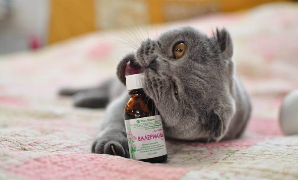 Причины почему котам так сильно нравится валерьянка и какое она вызывает влияние