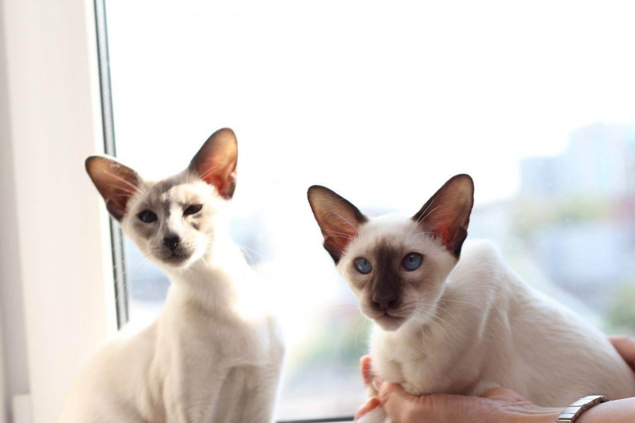 Яванская (яванез) кошка: описание породы с рекомендациями по уходу