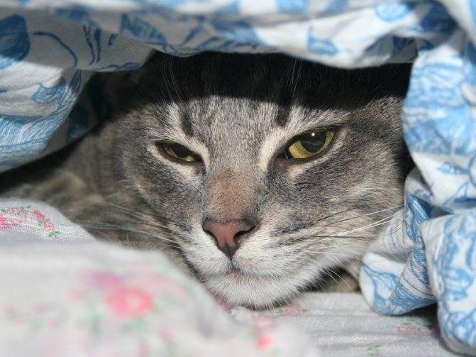 Кровь в моче у кота или кошки, что делать: все нюансы