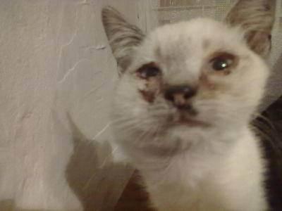 Отек у кошек. опухоль нижней челюсти у кошки: причины и лечение